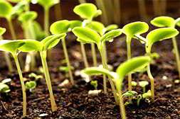 Агромакс способствует раннему созреванию урожая