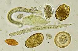Аллимакс убивает взрослых особей, личинки, яйца.